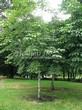 Посадка крупномеров Конского каштана обыкновенного (Aesculus hippocastanum) - 207