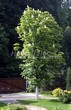 Посадка крупномеров Конского каштана обыкновенного (Aesculus hippocastanum) - 208