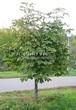 Посадка крупномеров Конского каштана обыкновенного (Aesculus hippocastanum) - 209