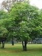 Посадка крупномеров Конского каштана обыкновенного (Aesculus hippocastanum) - 211