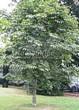 Посадка крупномеров Конского каштана обыкновенного (Aesculus hippocastanum) - 212