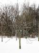 Посадка крупномеров Конского каштана обыкновенного (Aesculus hippocastanum) - 215