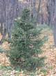 Хвойное дерево Ель обыкновенная осенью в октябре