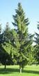Хвойное дерево Ель обыкновенная в зеленой городской зоне в Москве