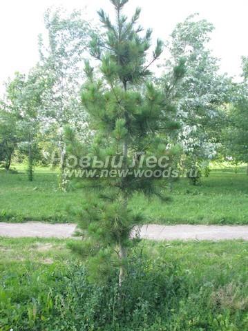 Хвойное дерево Сосна сибирская кедровая (Кедр сибирский) (Pinus sibirica) - Фото 301 - Дерево Сосна сибирская кедровая, высаженная в городской черте для озеленения территории (высота 3 метра, Москва)