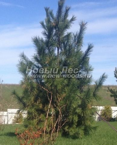 Хвойное дерево Сосна сибирская кедровая (Кедр сибирский) (Pinus sibirica) - Фото 302 - Сибирский кедр (Pinus sibirica) - крупномерное дерево высотой 4 метра - высадка на участке возле загородного дома (Московская область)