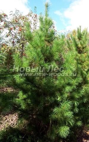 Хвойное дерево Сосна сибирская кедровая (Кедр сибирский) (Pinus sibirica) - Фото 303 - Сосна сибирская кедровая (Сибирский кедр) - растение, взрослеющее на территории питомника в зоне крупномеров (Тульская область)
