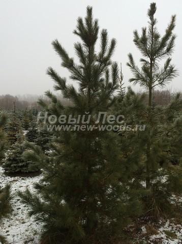 Хвойное дерево Сосна сибирская кедровая (Кедр сибирский) (Pinus sibirica) - Фото 304 - Кедры сибирские - каждое дерево имеет свой собственный индивидуальный вид и пригодится для своего ландшафтного проекта