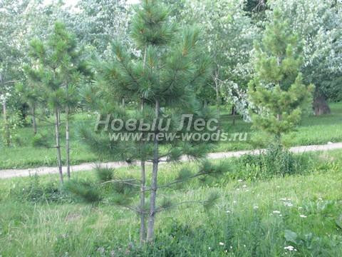 Хвойное дерево Сосна сибирская кедровая (Кедр сибирский) (Pinus sibirica) - Фото 305 - Деревья Сосны сибирской кедровой (Сибирского кедра) - озеленительная городская посадка в парковой зоне