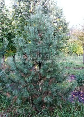 Хвойное дерево Сосна сибирская кедровая (Кедр сибирский) (Pinus sibirica) - Фото 306 - Сибирский кедр (как и любое хвойное дерево) периодически сбрасывает часть хвои, избавляясь с опадающими иголками от ненужных веществ