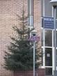 Посадка дерева Ель обыкновенная в городе Королев (Московская область)