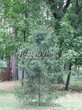 Посадка дерева Ель обыкновенная в парковой зоне подмосковного города