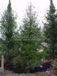 Посадка деревьев Ель обыкновенная весной в зеленой изгороди в районе Балашихи (Федурново)