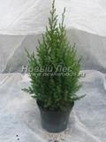 Хвойные саженцы Можжевельник китайский Стрикта (Juniperus chinensis 'Stricta')