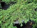 Хвойные саженцы Можжевельник обыкновенный Грин Карпет (Juniperus communis 'Green Carpet')