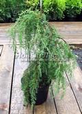 Хвойные саженцы Можжевельник обыкновенный Хорстманн (Juniperus communis 'Horstmann')