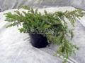 Хвойные саженцы Можжевельник прибрежный Шлягер (Шлагер) (Juniperus conferta 'Schlager')