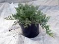 Хвойные саженцы Можжевельник горизонтальный Блю Чип (Блу Чип) (Juniperus horizontalis 'Blue Chip')