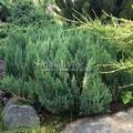 Хвойные саженцы Можжевельник горизонтальный Блю Форест (Блу Форест) (Juniperus horizontalis 'Blue Forest')