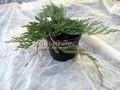 Хвойные саженцы Можжевельник горизонтальный Гляциер (Juniperus horizontalis 'Glacier')