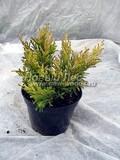 Хвойные саженцы Можжевельник горизонтальный Лайм Глоу (Лаймглоу) (Juniperus horizontalis 'Lime Glow' ( 'Limeglow'))