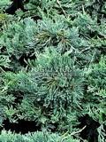 Хвойные саженцы Можжевельник горизонтальный Вилтона (Вилтонии) (Juniperus horizontalis 'Wiltonii')