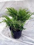 Хвойные саженцы Можжевельник горизонтальный Андорра Компакта Вариегата (Juniperus horizontalis 'Andorra Compact' ('Andorra Compacta Variegata'))