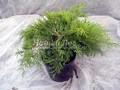 Хвойные саженцы Можжевельник пфитцериана (средний) Голд Коаст (Juniperus x pfitzeriana 'Gold Coast')