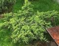 Хвойные саженцы Можжевельник пфитцериана (средний) Голд Стар (Juniperus x pfitzeriana 'Gold Star')