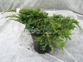 Хвойные саженцы Можжевельник пфитцериана (средний) Мордиган Голд (Juniperus x pfitzeriana 'Mordigan Gold')