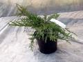 Хвойные саженцы Можжевельник пфитцериана (средний) Пфитцериана Компакта (Juniperus x pfitzeriana 'Pfitzeriana Compacta')