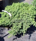 Хвойные саженцы Можжевельник лежачий Нана (Juniperus procumbens 'Nana')