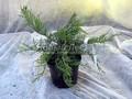 Хвойные саженцы Можжевельник казацкий Аркадия (Juniperus sabina 'Arcadia')