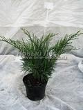 Хвойные саженцы Можжевельник казацкий Хикса (Хиксии) (Juniperus sabina 'Hicksii')