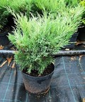 Хвойные саженцы Можжевельник казацкий Мас (Juniperus sabina 'Mas')