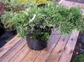 Хвойные саженцы Можжевельник казацкий Вариегата (Juniperus sabina 'Variegata')