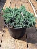 Хвойные саженцы Можжевельник чешуйчатый Блю Стар (Блу Стар) (Juniperus squamata 'Blue Star')