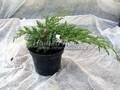 Хвойные саженцы Можжевельник чешуйчатый Блю Свид (Блу Швед) (Juniperus squamata 'Blue Swede')