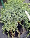 Хвойные саженцы Можжевельник чешуйчатый Холгер (Juniperus squamata 'Holger')