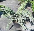 Хвойные саженцы Можжевельник чешуйчатый Мейери (Juniperus squamata 'Meyeri')