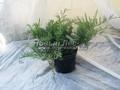 Хвойные саженцы Можжевельник виргинский Грей Оул (Juniperus virginiana 'Grey Owl')