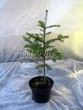 Хвойные саженцы Пихта бальзамическая (Abies balsamea)