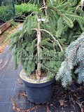 Хвойные саженцы Ель обыкновенная (европейская) Инверса  (Picea abies 'Inversa')
