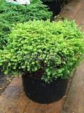 Хвойные саженцы Ель обыкновенная (европейская) Литтл Джем  (Picea abies 'Little Gem')