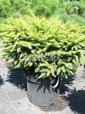 Хвойные саженцы Ель обыкновенная (европейская) Нидиформис  (Picea abies 'Nidiformis')
