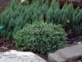 Хвойные саженцы Ель обыкновенная (европейская) Олендорфа (Олендорфи) (Picea abies 'Ohlendorfii')