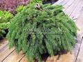 Хвойные саженцы Ель обыкновенная (европейская) Прокумбенс (Picea abies 'Procumbens')