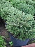 Хвойные саженцы Ель обыкновенная (европейская) Пумила Глаука (Picea abies 'Pumila Glauca')