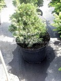 Хвойные саженцы Ель обыкновенная (европейская) Томпа (Picea abies 'Tompa')