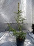Хвойные саженцы Ель шероховатая  (Picea asperata)